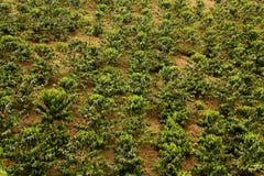 kaffecolombia fält arkivbilder