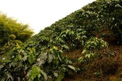 kaffecolombia fält Royaltyfri Foto