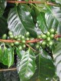 kaffedetaljväxt Arkivfoton