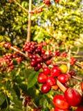 Kaffee Bean Tree mit reifen Kirschen oder reifen Kaffeebohnen stockfotos