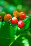 Kaffee-Beere Lizenzfreies Stockfoto