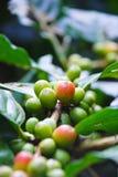 Kaffee-Beere Lizenzfreie Stockbilder