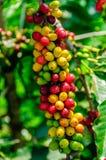 Kaffee-Kirschen Stockbild