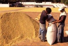 KAFFEE LATEIN-AMERIKAS GUATEMALA Stockfotos