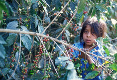 KAFFEE LATEIN-AMERIKAS GUATEMALA Lizenzfreies Stockfoto