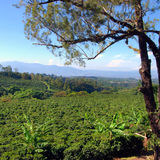 Kaffee-Plantage Lizenzfreie Stockfotos
