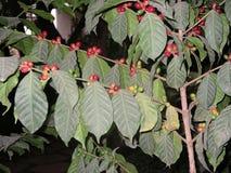 Kaffee von Äthiopien Lizenzfreies Stockbild