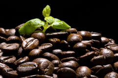 Kaffeeanlage Lizenzfreies Stockfoto