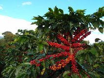 Kaffeeanlage mit großen Früchten Stockfotografie