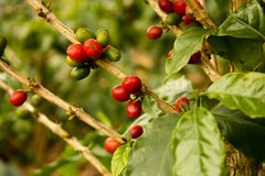 Kaffeeanlagen zum zu reifen lizenzfreies stockbild