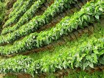 Kaffeebäume stockfotos