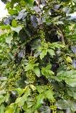 Kaffeebaum mit grünen Bohnen Stockfotografie