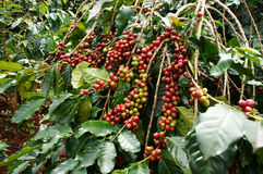 Kaffeebaum mit roter Bohne Stockfotografie