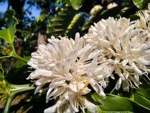 Kaffeebaum mit weißen Blumen Lizenzfreie Stockfotos