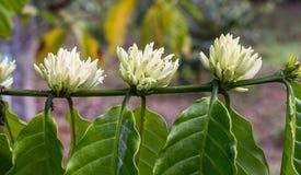 Kaffeebaumblüte mit weißem Farbblumenabschluß herauf Draufsicht Stockbilder