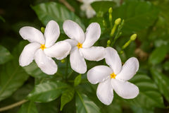 Kaffeeblüte, drei weiße Blumen Lizenzfreie Stockfotografie