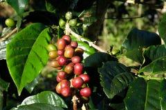Kaffeebohne auf Baum und Blatt stockbild