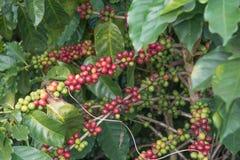 Kaffeebohne auf braunem Hintergrund Stockfoto
