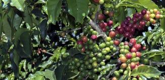 Kaffeebohne auf braunem Hintergrund Stockbilder