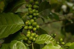 Kaffeebohne-Kaffeebohnen vom Bauernhof Stockfoto