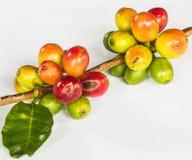 Kaffeebohne und grüne Blätter Stockfotos