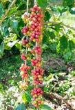 Kaffeebohnearabica reif auf einem Baum Stockbild