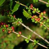 Kaffeebohnen auf Anlage Lizenzfreie Stockfotografie