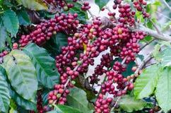 Kaffeebohnen auf Bäumen lizenzfreies stockfoto