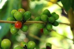 Kaffeebohnen auf Baum Stockfotos