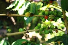 Kaffeebohnen auf Baum Lizenzfreie Stockfotos