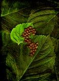 Kaffeebohnen auf Blättern Stockbilder