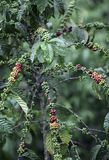 Kaffeebohnen, die auf Anlage reifen stockfotografie