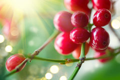 Kaffeebohnen, die auf einer Niederlassung des Kaffeebaums wachsen Lizenzfreies Stockbild