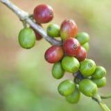 Kaffeebohnen ripenin Lizenzfreies Stockbild