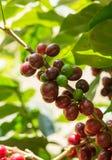 Kaffeefrüchte im Bauernhof. Lizenzfreie Stockfotografie