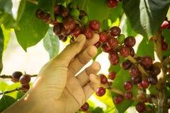 Kaffeefrucht mit der menschlichen Hand. Lizenzfreies Stockfoto