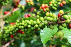 Kaffeekirschen Lizenzfreie Stockfotografie