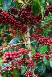 Kaffeekirschen Stockbild