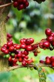 Kaffeekirschen Stockfotografie