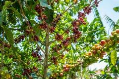 Kaffeekirschen auf einer Anlage Lizenzfreie Stockfotos