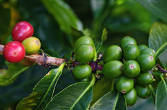Kaffeekirschen aufgetrennt Lizenzfreie Stockfotografie