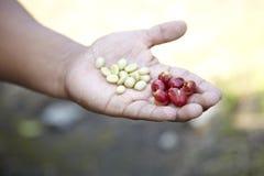 Kaffeeplantage, Boquete, Panama5 Stockbild