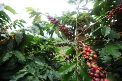 Kaffeeplantage in Brasilien stockfoto