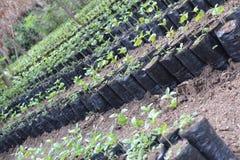 Kaffeeplantage in der Blüte lizenzfreies stockfoto
