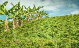 Kaffeeplantage in Jerico, Kolumbien Stockbild