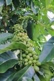 Kaffeharicot vert Royaltyfri Fotografi