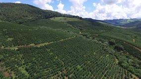 Kaffekoloni i solig dag i Brasilien Landskap för kaffe Plant arkivfilmer