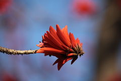 Kafferboom flower also known as Coastal Coral Tree Stock Photos