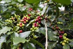 Kaffeträd Arkivfoton