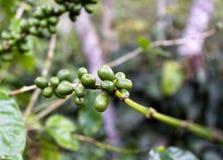 Kaffeträd Fotografering för Bildbyråer